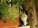 Syrian cat behind a Jasmine bush